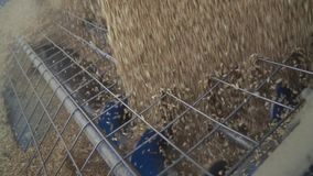 Muito trigo está derramando no eixo helicoidal da grão, fecha-se acima da metragem video estoque