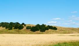 Muito trigo no campo Fotos de Stock