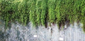 Muito videira, hera ou crescimento vegetal verde do rastejamento no fundo cinzento áspero da parede com espaço da cópia fotografia de stock