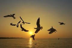 Muito voo da gaivota no por do sol Imagem de Stock