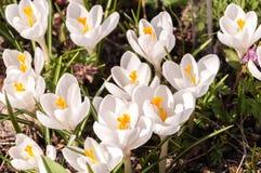 Muitos açafrões brancos na terra Fotografia de Stock Royalty Free