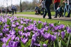 Muitos açafrões de florescência no parque Fotografia de Stock