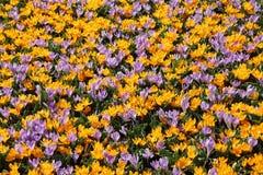 Muitos açafrões de florescência no parque Imagem de Stock