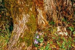 Muitos açafrões na grama nas madeiras perto do coto no mo Imagens de Stock