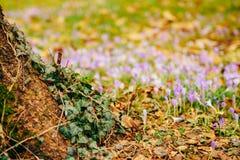 Muitos açafrões na grama nas madeiras perto do coto no mo Fotos de Stock