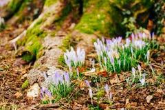 Muitos açafrões na grama nas madeiras perto do coto no mo Foto de Stock
