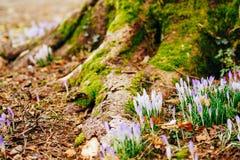 Muitos açafrões na grama nas madeiras perto do coto no mo Fotografia de Stock