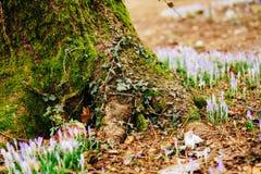 Muitos açafrões na grama nas madeiras perto do coto no mo Foto de Stock Royalty Free