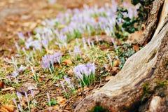 Muitos açafrões na grama nas madeiras perto do coto no mo Imagens de Stock Royalty Free