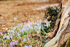 Muitos açafrões na grama nas madeiras perto do coto no mo Fotografia de Stock Royalty Free