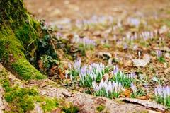 Muitos açafrões na grama nas madeiras perto do coto no mo Fotos de Stock Royalty Free