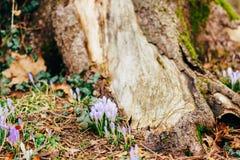 Muitos açafrões na grama nas madeiras perto do coto no mo Imagem de Stock