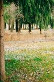 Muitos açafrões na grama sob a árvore de abeto Um campo do açafrão Fotos de Stock
