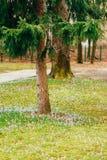 Muitos açafrões na grama sob a árvore de abeto Um campo do açafrão Foto de Stock Royalty Free