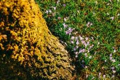 Muitos açafrões na grama sob a árvore Um campo dos açafrões mim Fotos de Stock Royalty Free