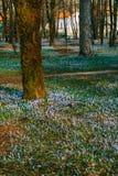 Muitos açafrões na grama sob a árvore Um campo dos açafrões mim Imagem de Stock
