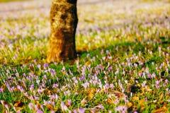 Muitos açafrões na grama sob a árvore Um campo dos açafrões mim Fotografia de Stock Royalty Free