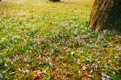 Muitos açafrões na grama sob a árvore Um campo dos açafrões mim Foto de Stock