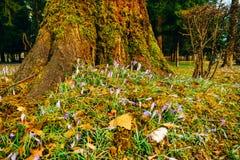Muitos açafrões na grama sob a árvore Um campo dos açafrões mim Foto de Stock Royalty Free
