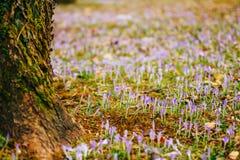 Muitos açafrões na grama sob a árvore Um campo dos açafrões mim Imagem de Stock Royalty Free
