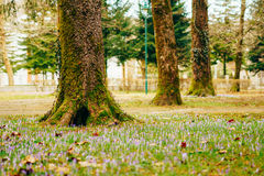 Muitos açafrões na grama sob a árvore Um campo dos açafrões mim Imagens de Stock