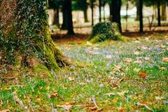 Muitos açafrões na grama sob a árvore Um campo dos açafrões mim Fotografia de Stock
