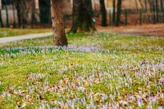 Muitos açafrões na grama sob a árvore Um campo dos açafrões mim Fotos de Stock