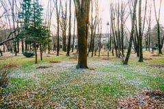 Muitos açafrões na grama sob a árvore Um campo dos açafrões mim Imagens de Stock Royalty Free