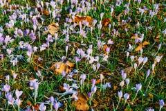Muitos açafrões na grama Um campo dos açafrões no gra verde Imagem de Stock
