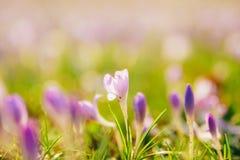 Muitos açafrões na grama Um campo dos açafrões no gra verde Imagens de Stock