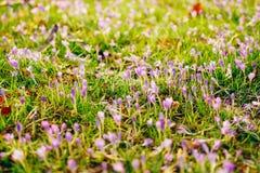 Muitos açafrões na grama Um campo dos açafrões no gra verde Foto de Stock Royalty Free