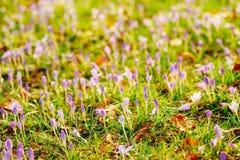 Muitos açafrões na grama Um campo dos açafrões no gra verde Fotos de Stock