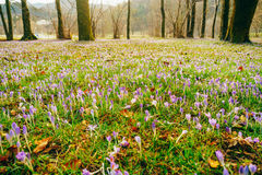 Muitos açafrões na grama Um campo dos açafrões no gra verde Imagem de Stock Royalty Free