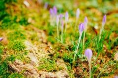 Muitos açafrões na grama Um campo dos açafrões no gra verde Fotos de Stock Royalty Free