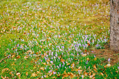 Muitos açafrões na grama Um campo dos açafrões no gra verde Imagens de Stock Royalty Free