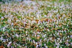Muitos açafrões na grama Um campo dos açafrões no gra verde Foto de Stock