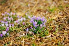 Muitos açafrões nas folhas de outono secas Um campo dos açafrões no yello Fotografia de Stock Royalty Free