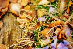 Muitos açafrões nas folhas de outono secas Um campo dos açafrões no yello Imagem de Stock