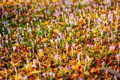 Muitos açafrões nas folhas de outono secas Um campo dos açafrões no yello Foto de Stock