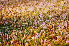 Muitos açafrões nas folhas de outono secas Um campo dos açafrões no yello Imagem de Stock Royalty Free