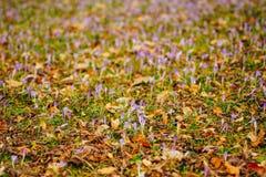 Muitos açafrões nas folhas de outono secas Um campo dos açafrões no yello Imagens de Stock