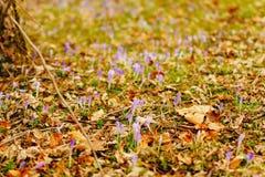 Muitos açafrões nas folhas de outono secas Um campo dos açafrões no yello Foto de Stock Royalty Free