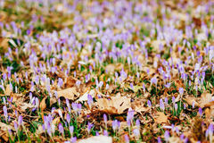 Muitos açafrões nas folhas de outono secas Um campo dos açafrões no yello Fotos de Stock Royalty Free