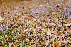 Muitos açafrões nas folhas de outono secas Um campo dos açafrões no yello Imagens de Stock Royalty Free
