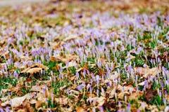 Muitos açafrões nas folhas de outono secas Um campo dos açafrões no yello Fotos de Stock