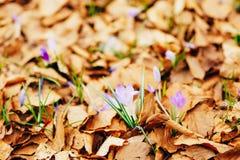 Muitos açafrões nas folhas de outono secas Um campo dos açafrões no yello Fotografia de Stock