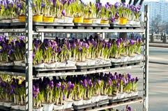 Muitos açafrões no flowershop Imagem de Stock Royalty Free