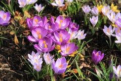 Muitos açafrões roxos Foto de Stock Royalty Free