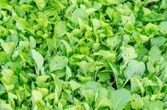 Muitos alface do enfileiramento nas fileiras no jardim vegetal Imagens de Stock Royalty Free