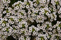 Muitos alyssum de florescência Foto de Stock Royalty Free